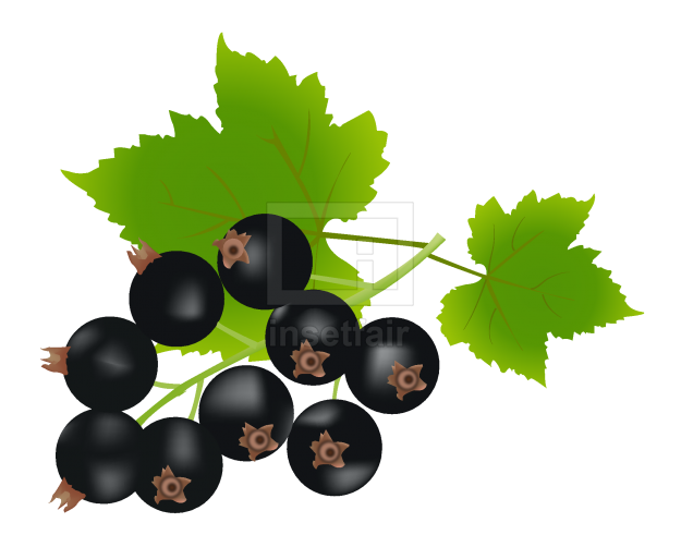 Black currant fruit with green leaves vector illustration png image