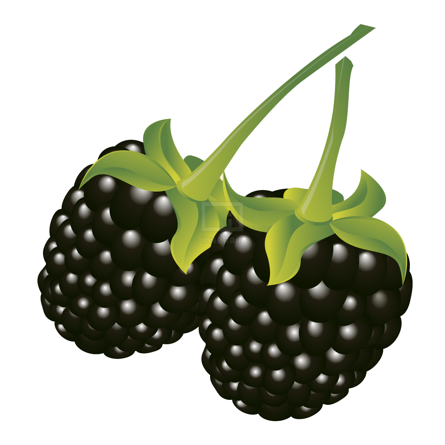Blackberry fruit with green leaves vector illustration png image
