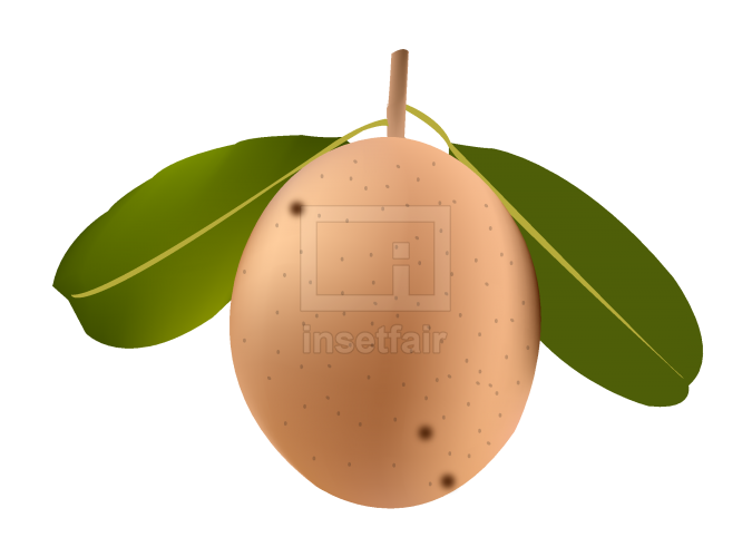 Download Sapodilla fruit vector stock image png file
