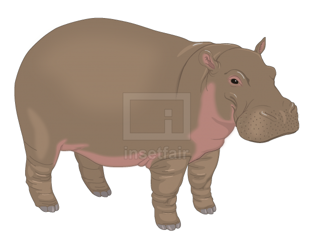 Young Hippopotamus vintage vector file free for commercial use at Insetfair