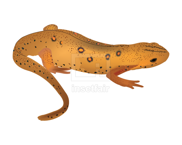 Newt vector drawing stock transparent png image