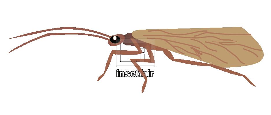 Adult Illustration of caddisfly with adobe illustrator