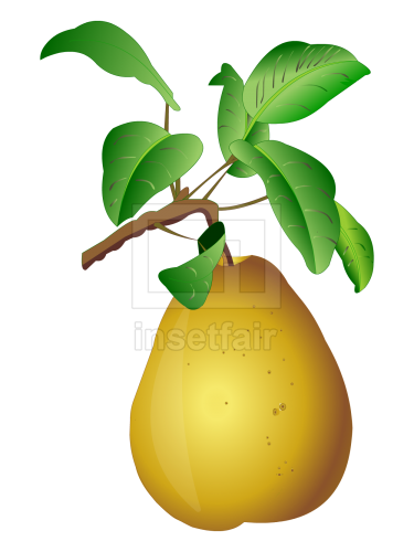 Pears fruit with leaf vector drawing fla royalty free png image