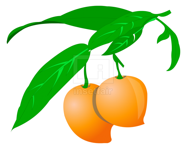 Mangos fruit vector drawing fla royalty free png image