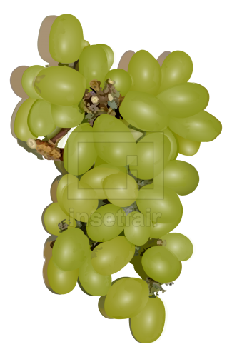 Green Grapes fruit vector drawing fla royalty free png image