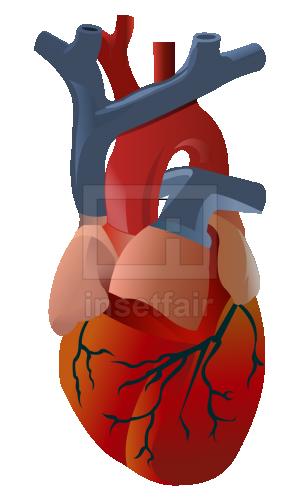 Cardiac Conduction Stock Flash Illustration