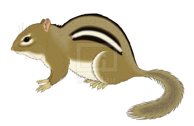 Chipmunk squirrel vector drawing with adobe illustrator free download png image
